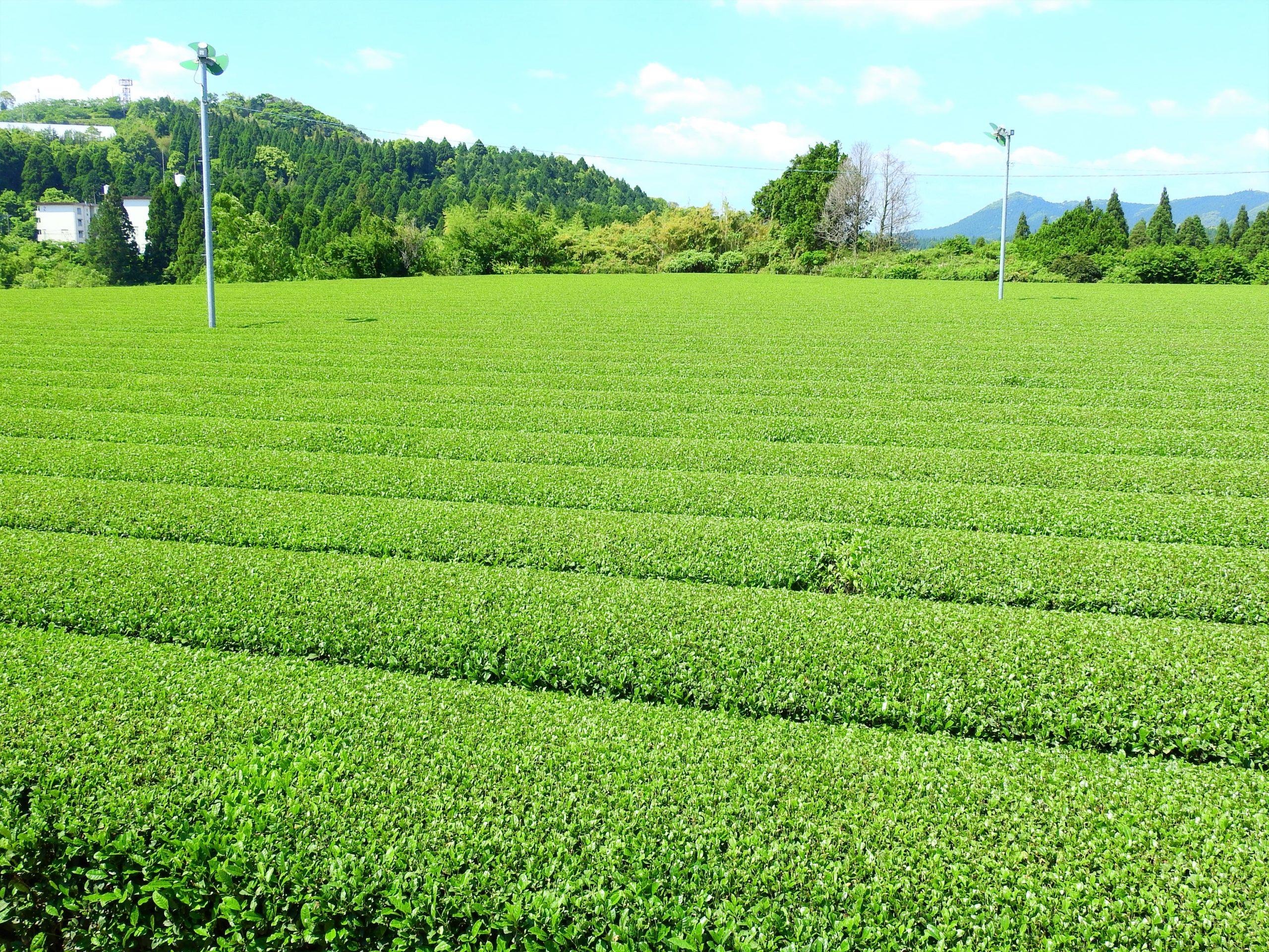 鹿児島県 霧島茶