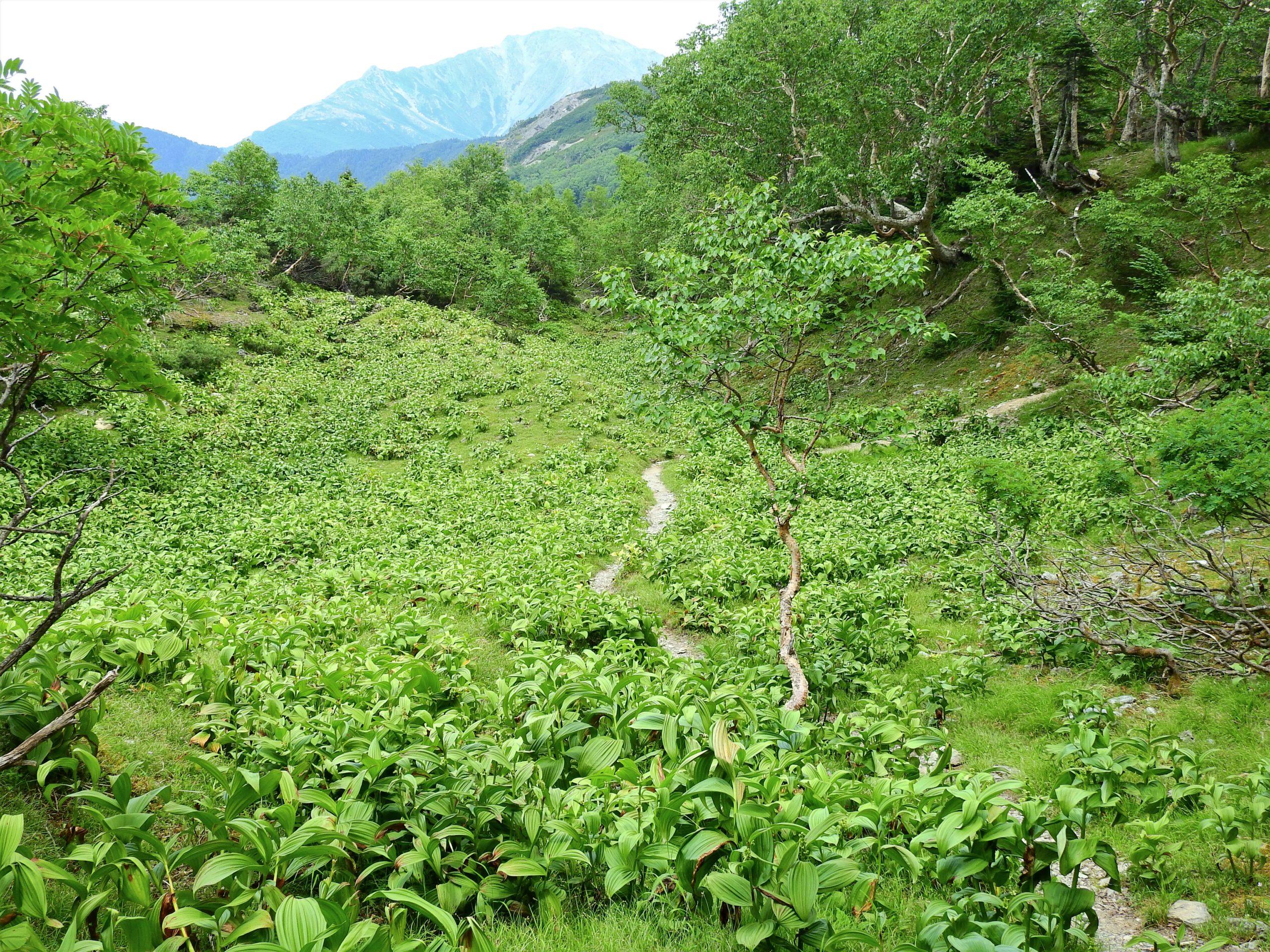 南アルプス 高山植物