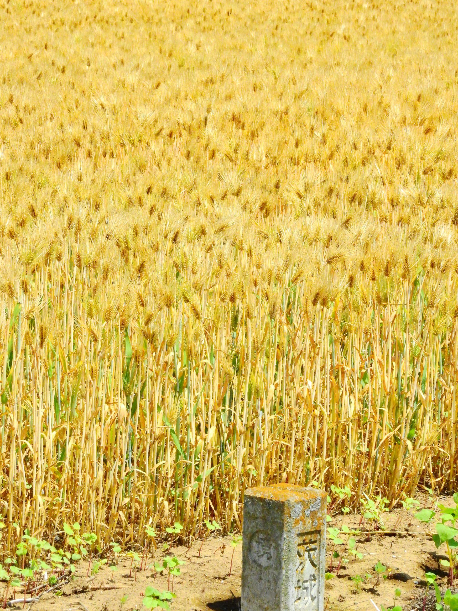 茨城県 麦畑