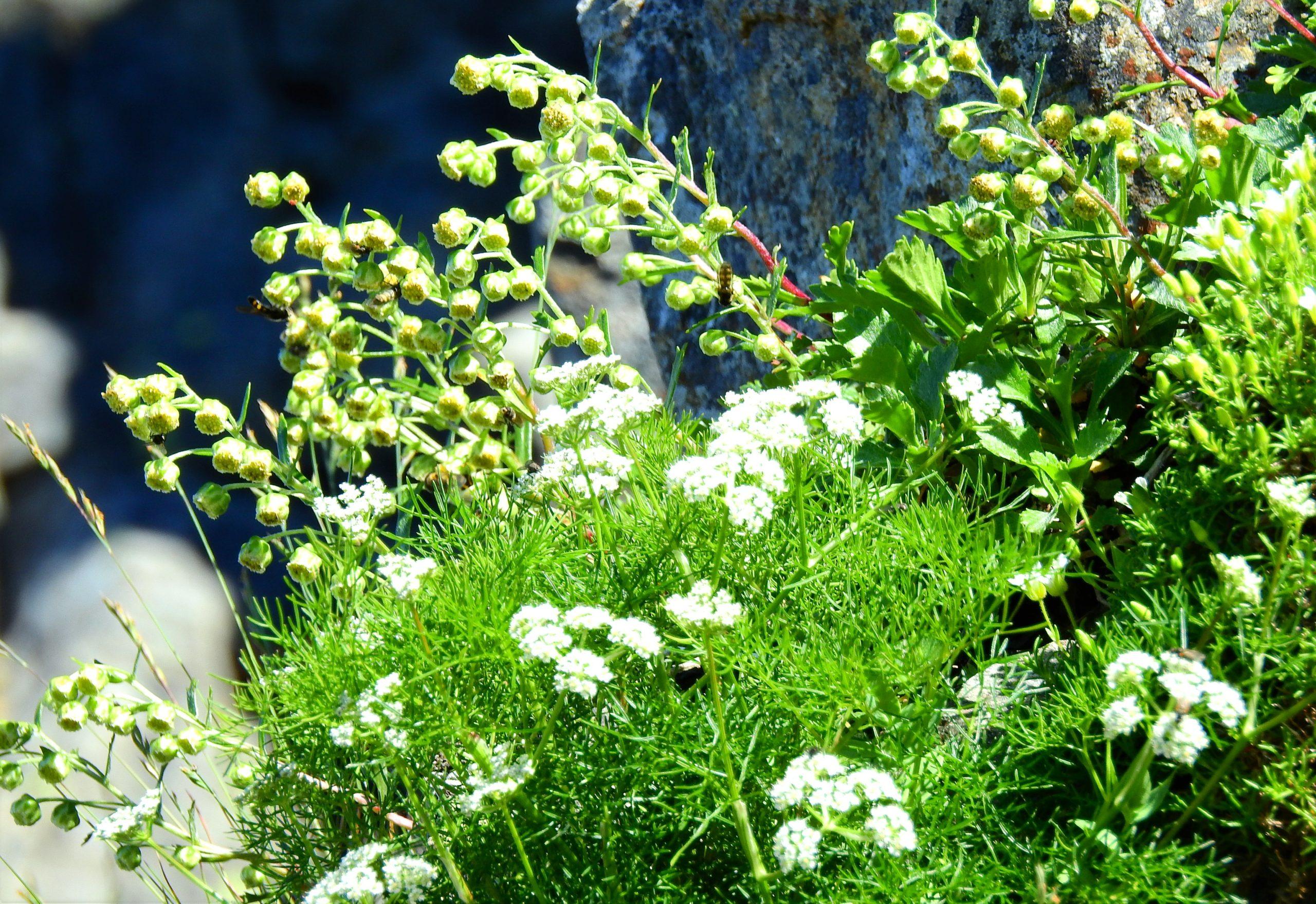 南アルプス 聖岳 高山植物