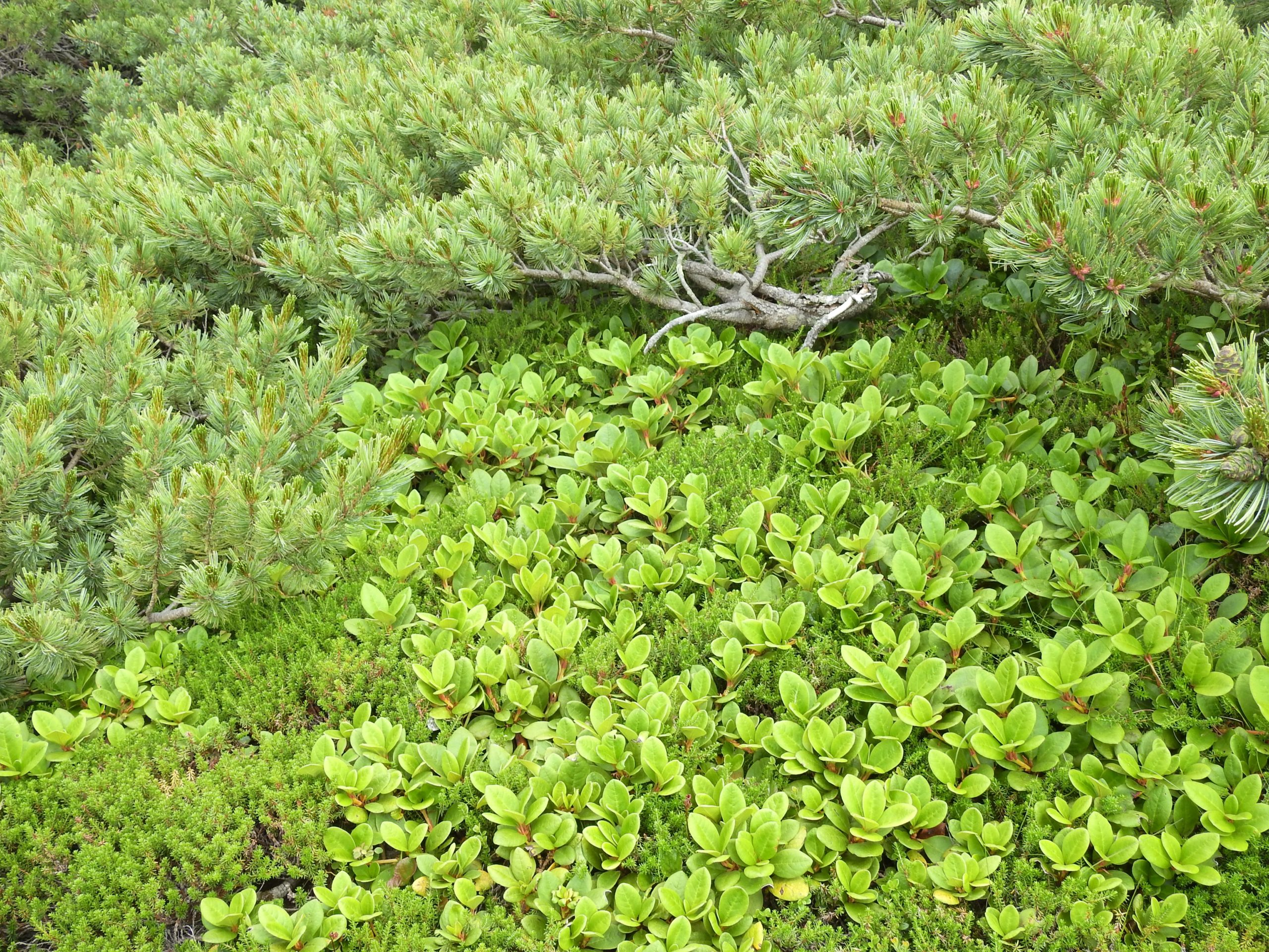 南アルプス 兎岳 高山植物