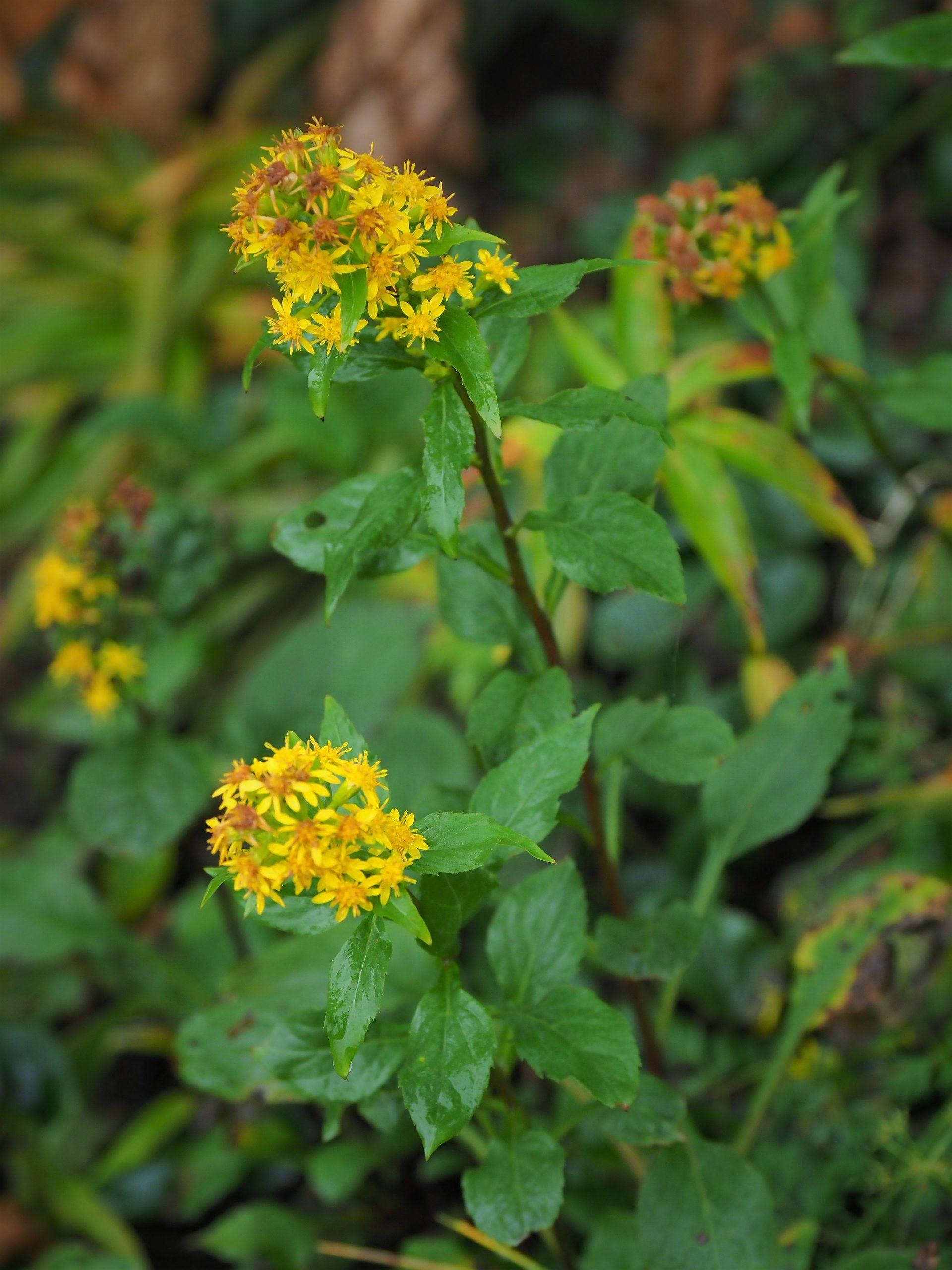 北アルプス 高山植物