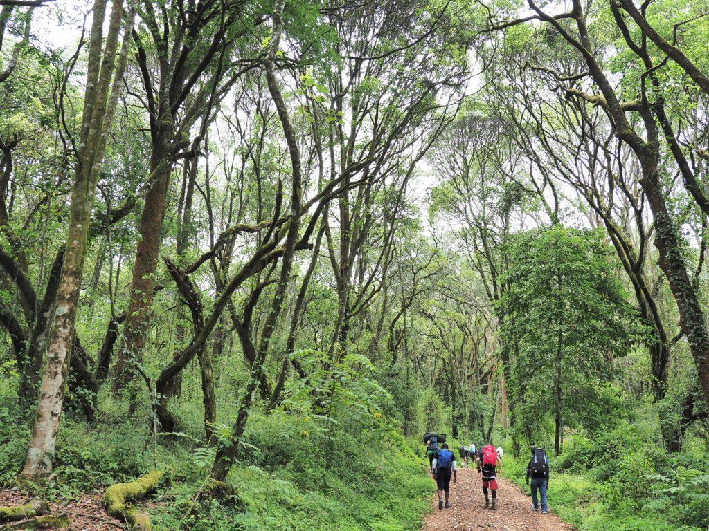 タンザニア キリマンジャロ 雲霧林