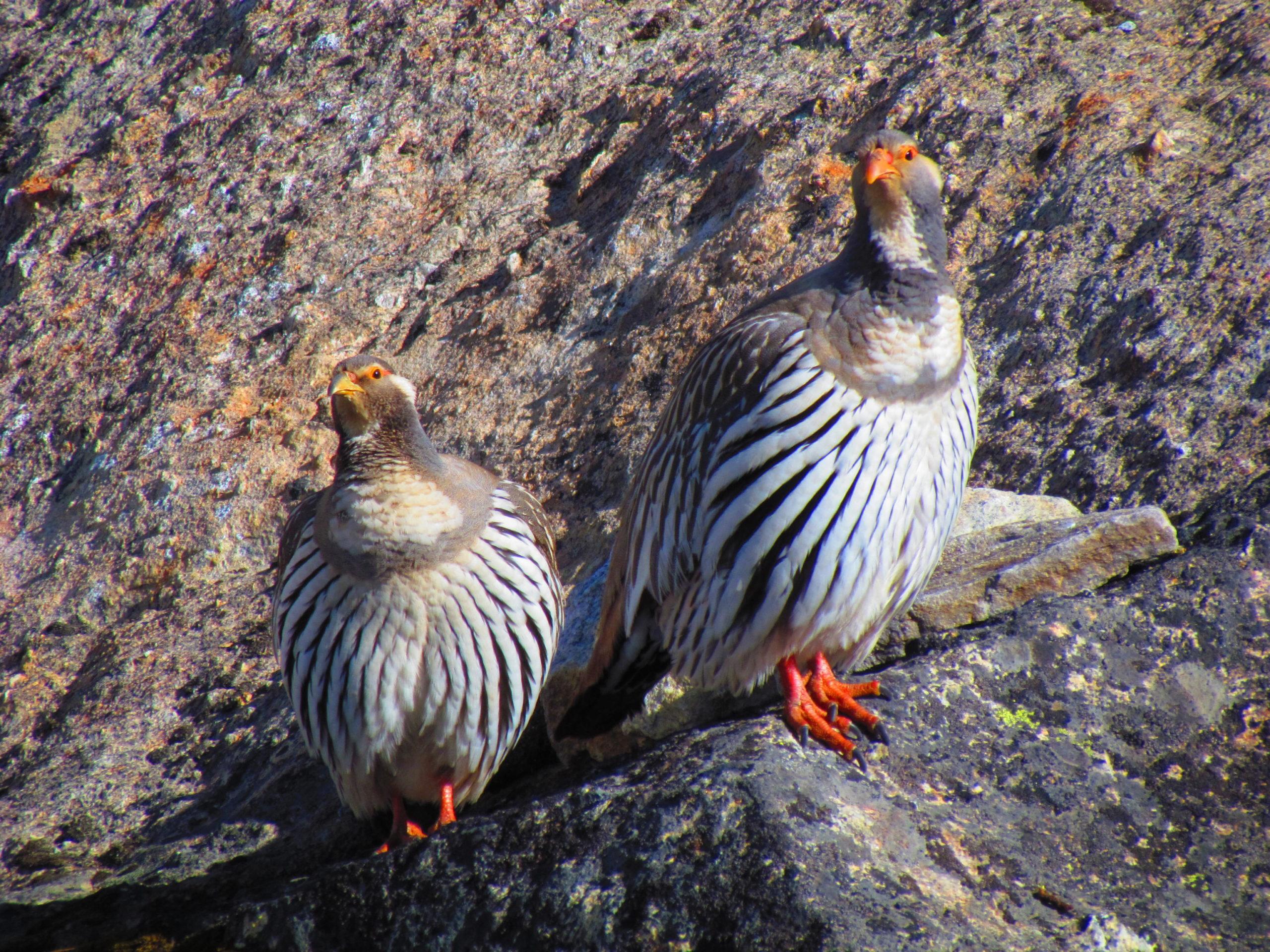 ネパール メラ・ピーク 鳥