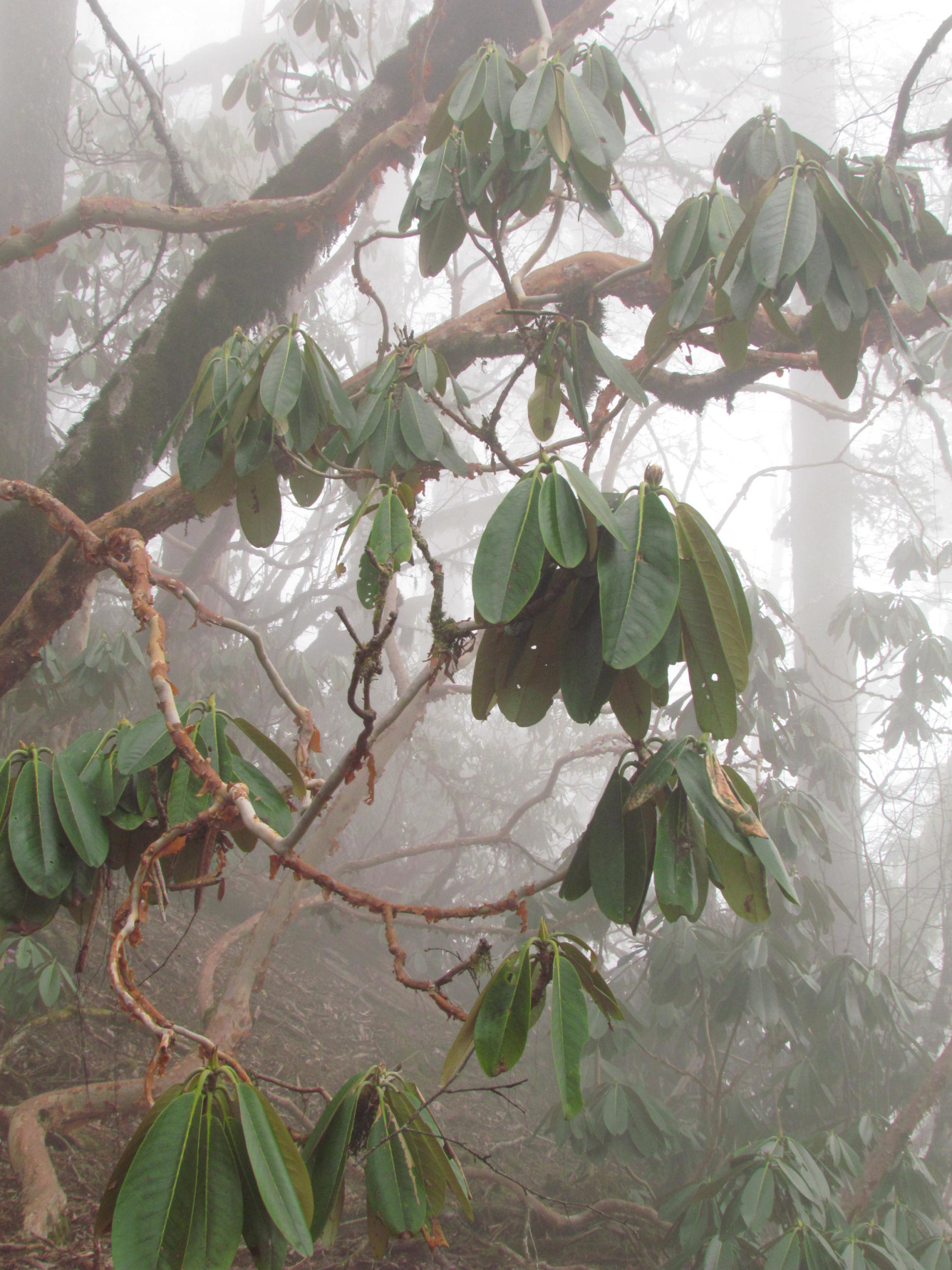 ネパール メラ・ピーク 高山植物