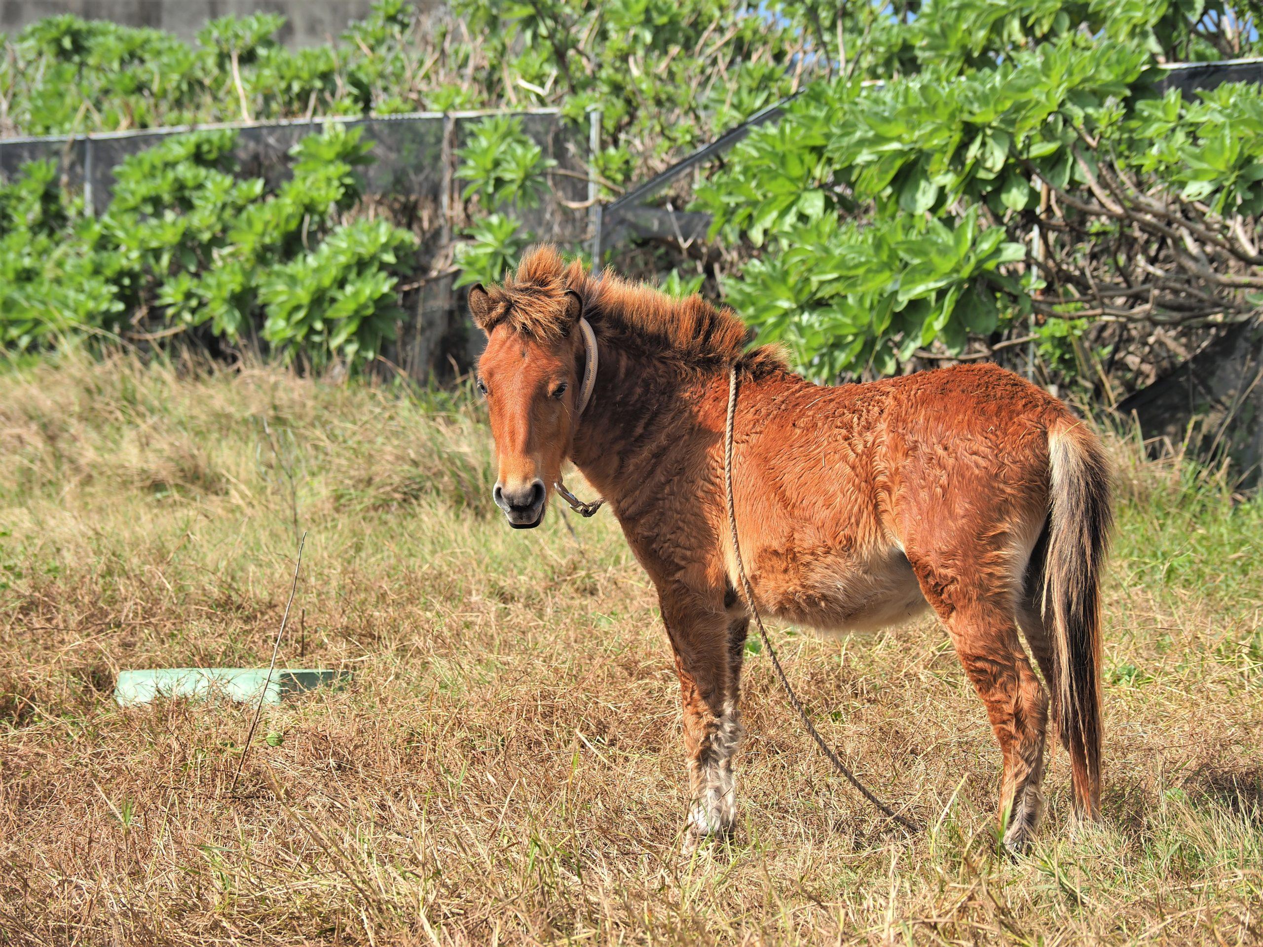沖縄県 与那国島 与那国馬
