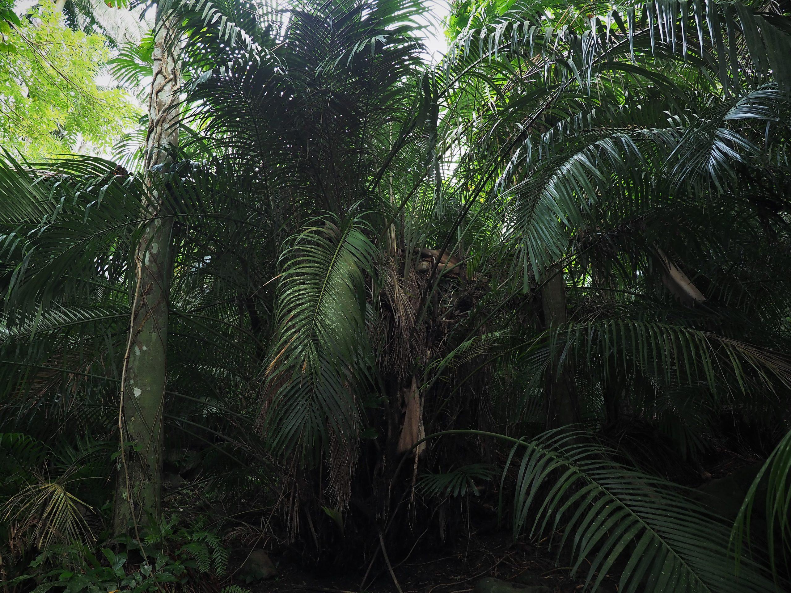 沖縄県 石垣島 米原のヤエヤマヤシ群落