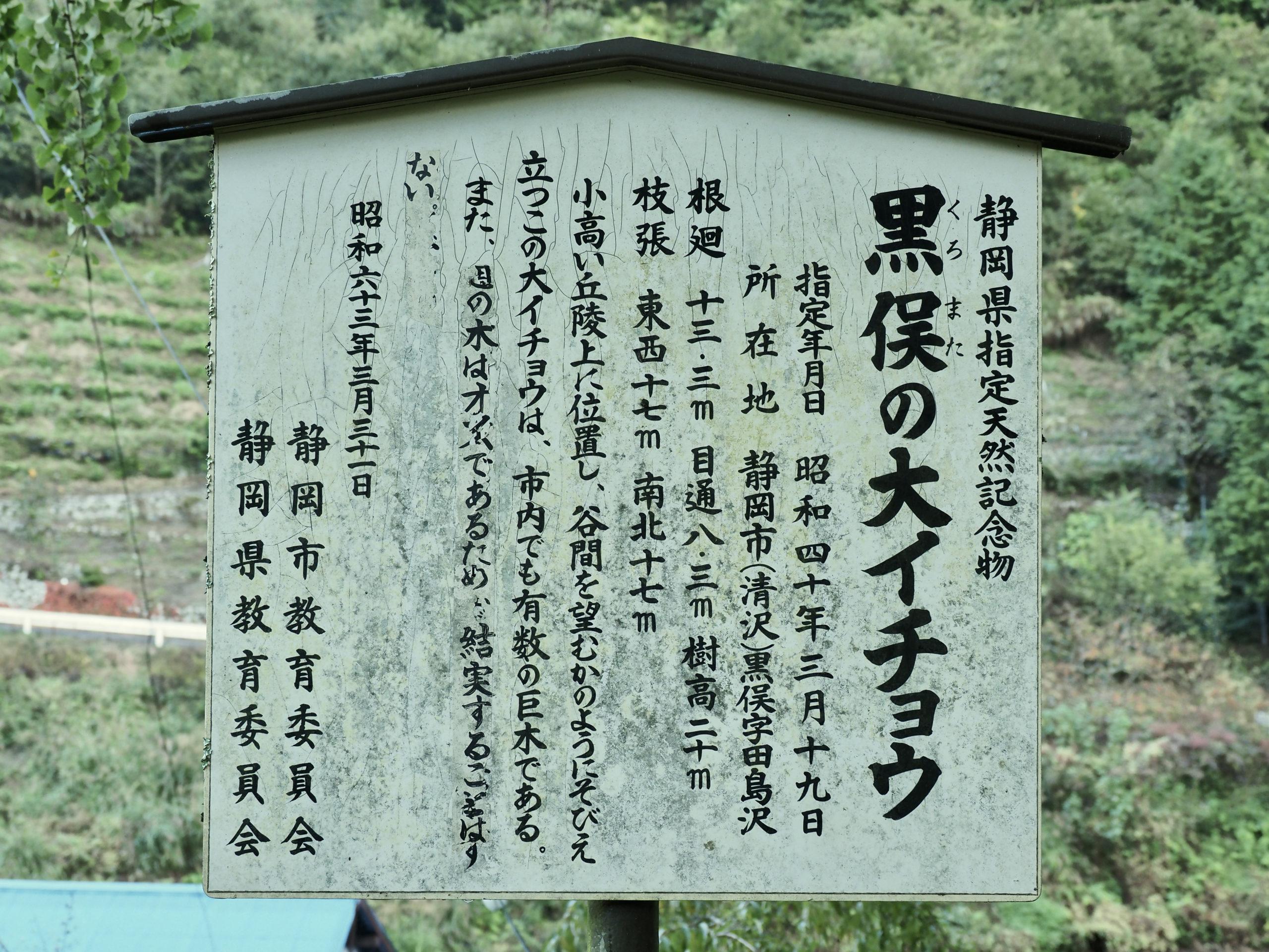 静岡県 黒俣の大イチョウ