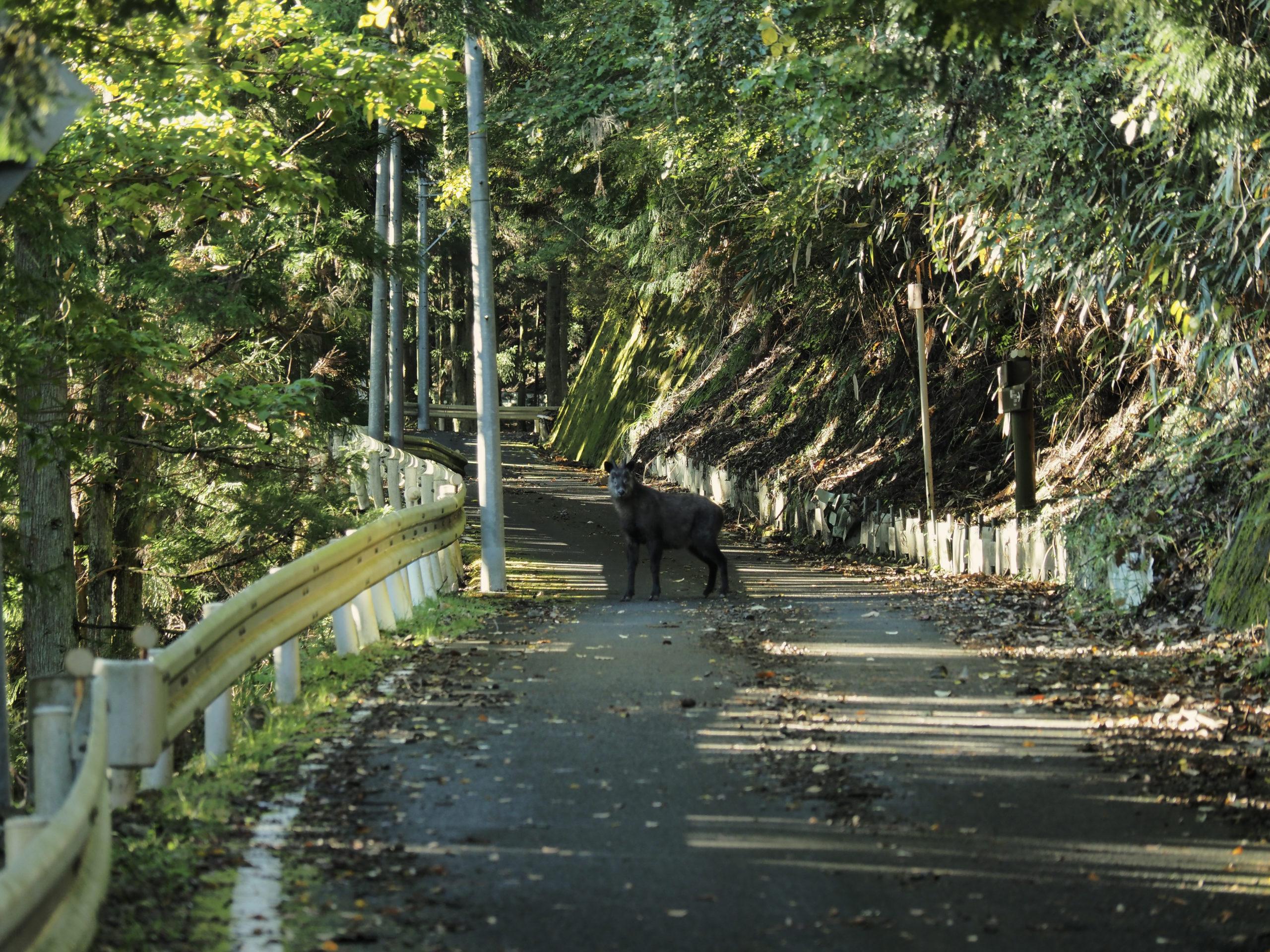 静岡県 カモシカ