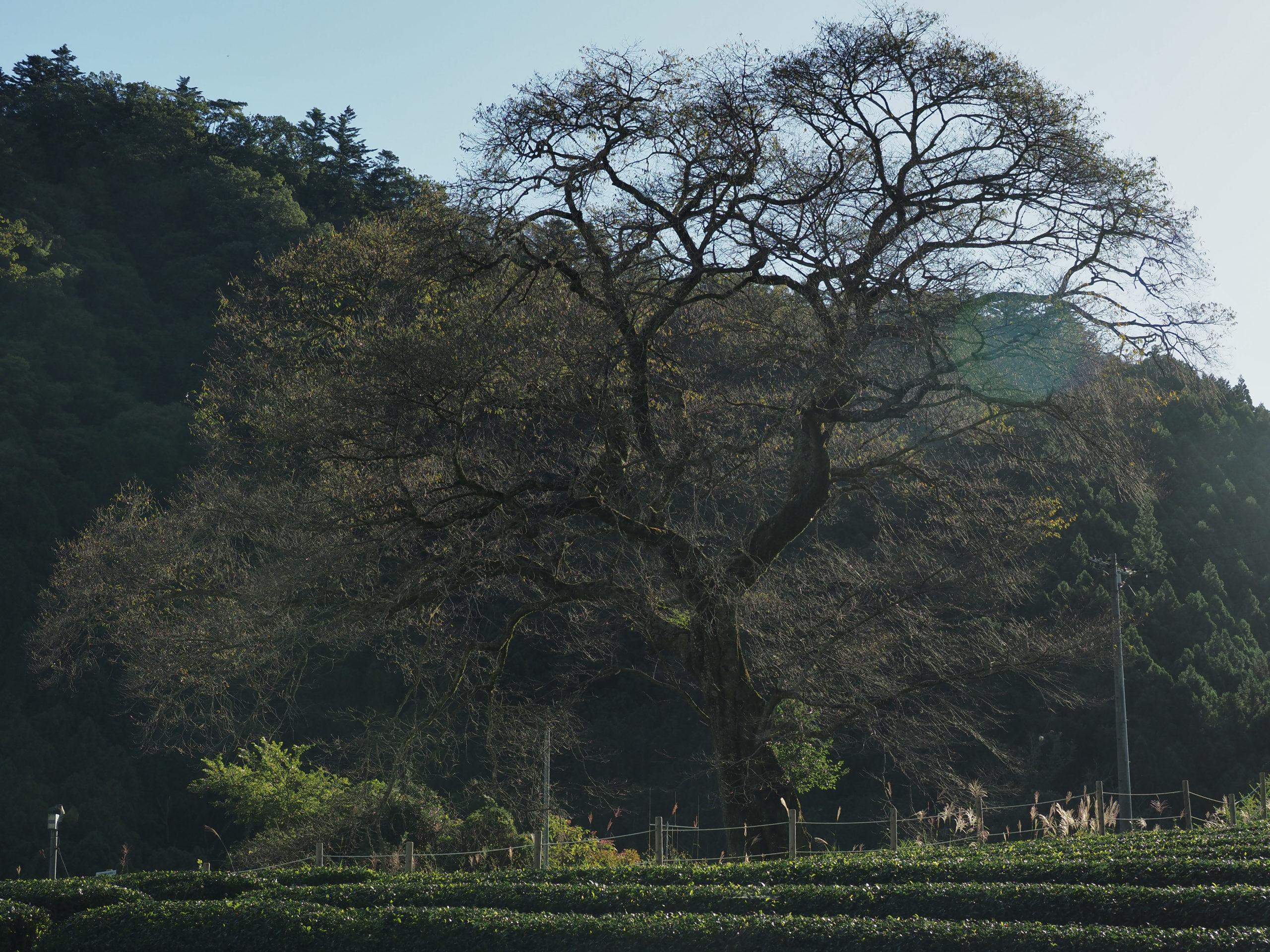 静岡県 牛代の水目桜
